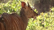 Young eating bushbuck Stock Footage