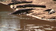 Crocodile comes out of the water Stock Footage