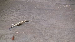Crocodile lies in the river - stock footage