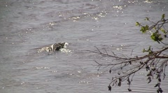 Crocodile in river - stock footage