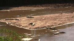 Group of crocodiles at river - stock footage