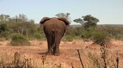 Big african elephant walking Stock Footage