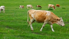 cow on pasture - stock footage