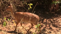 Walking African Bushbuck Stock Footage