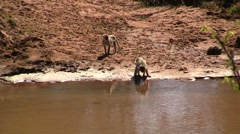 Monkeys drinking at the river Stock Footage