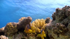 Clown Anemonefish in coral reef, Red sea Stock Footage
