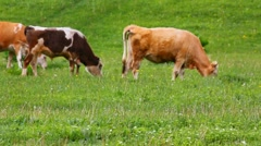 herd of cows on pasture - stock footage