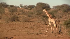 Walking giraffe Stock Footage