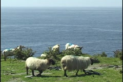 Sheep bleating Dingle Peninsula Ireland Stock Footage
