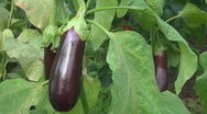 Stock Video Footage of Aubergine, eggplant