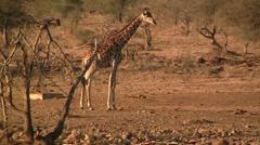 Walking giraffe in afternoon Stock Footage
