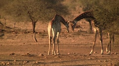 Two giraffes in the afternoon Stock Footage