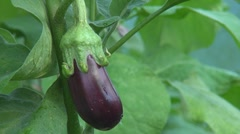 Woman verify Aubergine, eggplant Stock Footage