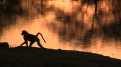 Monkey silhouette Stock Footage