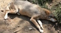 Wolf pack display in wilderness, Carnivore Animals, Endangered species, Wild Footage