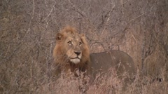 Lion male standing in long grass Stock Footage