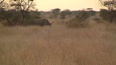 Rhino in african bush Stock Footage