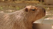 Stock Video Footage of Capybara Chewing