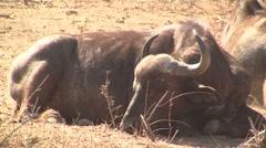 Lying buffalo 1 Stock Footage