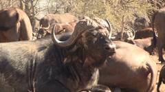 Lying buffalo's Stock Footage