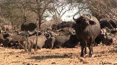 Herd of buffalo's Stock Footage