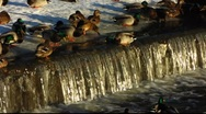 Scandinavia Finland people feeding Mallards ducks in winter snow Stock Footage