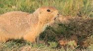 Stock Video Footage of Prairie dog barking