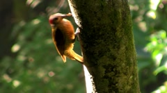 A beautiful woodpecker in the forest. Stock Footage