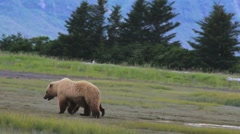 Grizzly Bear And Cub Stock Footage