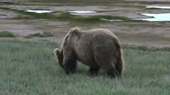 Grizzly Bear Forages Stock Footage