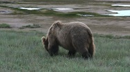Stock Video Footage of Grizzly Bear Forages