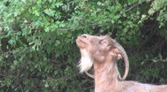 Stock Video Footage of Male goat