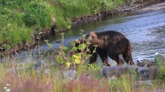 Kodiak Bear Wanders Onto Road Stock Footage