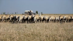 Sheep grazing on pasture Stock Footage