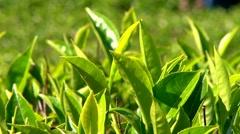 Tea Garden CU and Tea Pluckers Sri Lanka Stock Footage