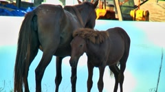 Wild mare and foal 03 Stock Footage