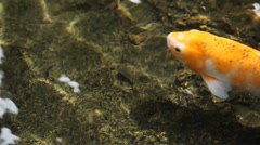 Ornamental Varieties, Brocaded Carp, Koi Fish Feeding in a Pond, Nishikigoi Stock Footage