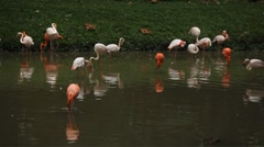 A Group of Red and White Flamingo Birds Flamingoes Relaxing, Eating, Water, Pond Stock Footage