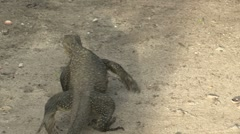 Monitor Lizard - Sumatra Jungle Stock Footage