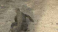 Stock Video Footage of Monitor Lizard - Sumatra Jungle