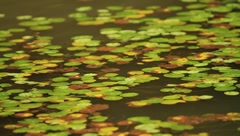 Small lotus leaves floating on a pond on a rainy day Stock Footage