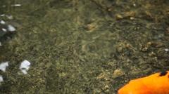 Brocaded Carp, Koi Fish Feeding in a Pond, Nishikigoi, Ornamental Varieties Stock Footage