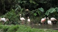 A Group of Red and White Flamingo Birds Flamingoes Relaxing, Eating, Water, Pond Footage