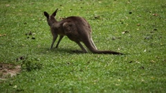 Kangaroo Eating, Relaxing, Marsupial from the family Macropodidae, Australian Stock Footage