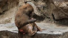 Cute Hamadryas Baboon Monkey, Part of a Sacred Baboon Monkeys Harem Stock Footage
