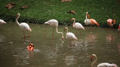 A Group of Red and White Flamingo Birds Flamingoes Relaxing, Eating, Water, Pond - stock footage