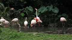 A Group of Red and White Flamingo Birds Flamingos Relaxing, Eating, Water, Pond Stock Footage