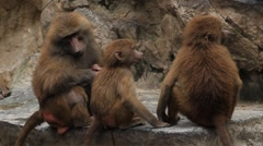 Cute Hamadryas Baboon Monkey, Part of a Sacred Baboon Monkeys Harem Stock Footage
