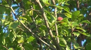 Stock Video Footage of Plums in orchard