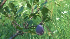 Plums in orchard - stock footage
